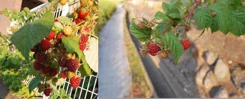 秋のラズベリー