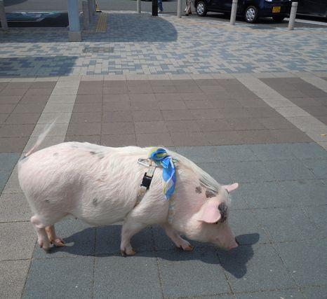 刈谷パーキングエリアの豚