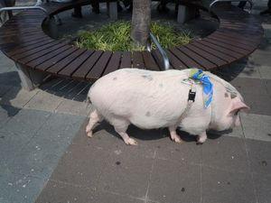 刈谷ハイウェイオアシスの豚さん