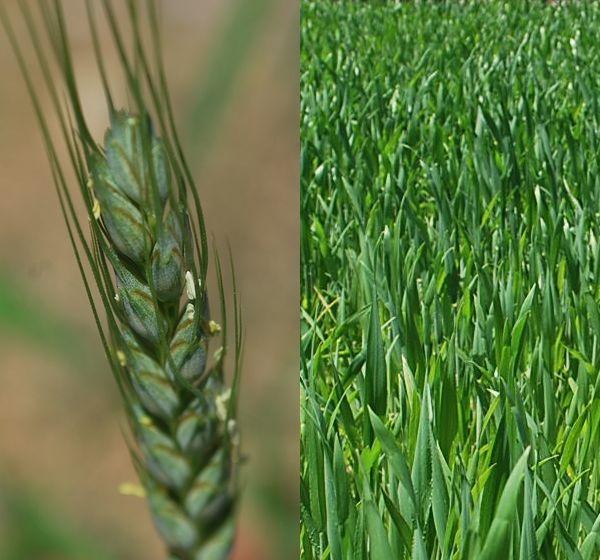 国産小麦の花
