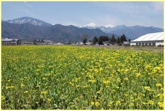 菜の花畑とアルプス画像
