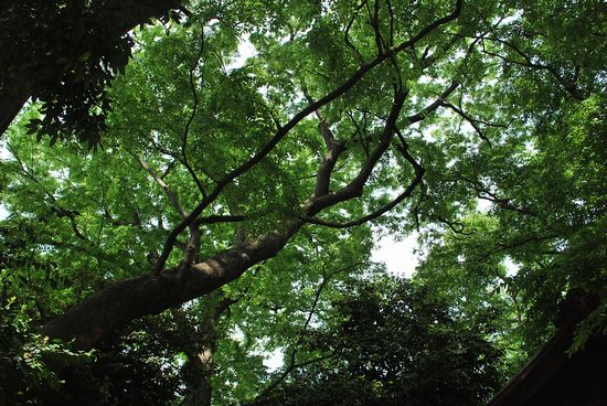 世田谷民家園 巨木